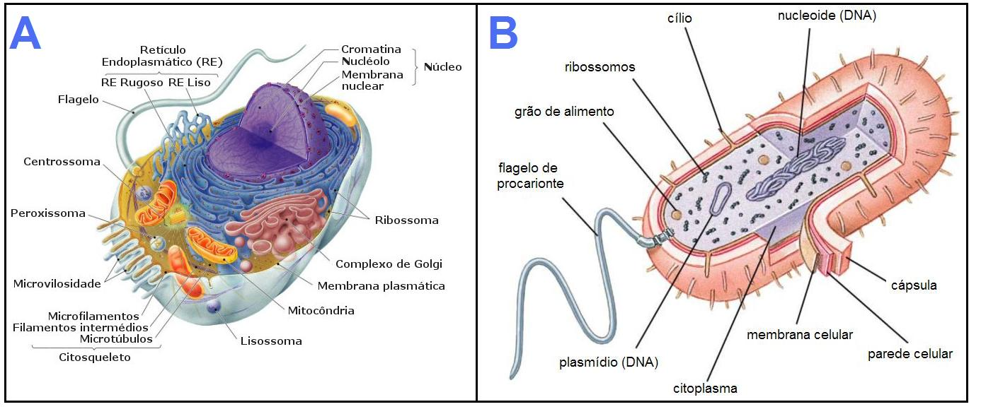 A: célula eucariota; B: célula procariota