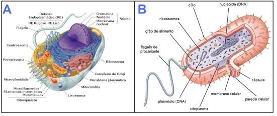 Tipos celulares. A) Eucarioto; B) Procarioto