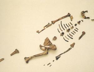 fc3b3ssil-de-australopithecus-afarensis-batizado-lucy-de-32-milhc3b5es-de-anos.jpg (300×230)