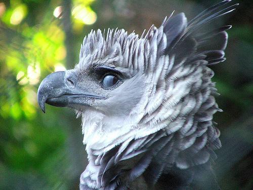 Première observation d'une Harpie féroce au Mexique depuis 13 ans