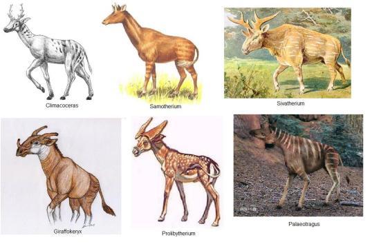 Representantes da possivel origem evolutiva das girafas moderna. Fora de escala.