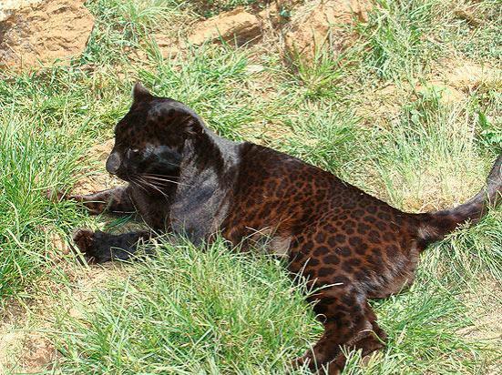 Pantera-negra, forma morena do leopardo, fotografada na África.