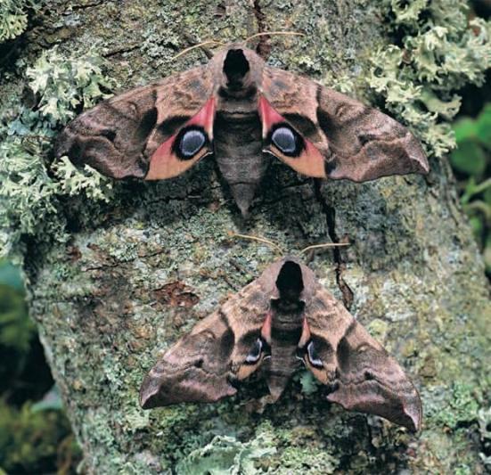 Mariposa da espécie 'Smerinthus ocellata', encontrada na Grã-Bretanha (Foto; Divulgação,Butterfly Conservation)