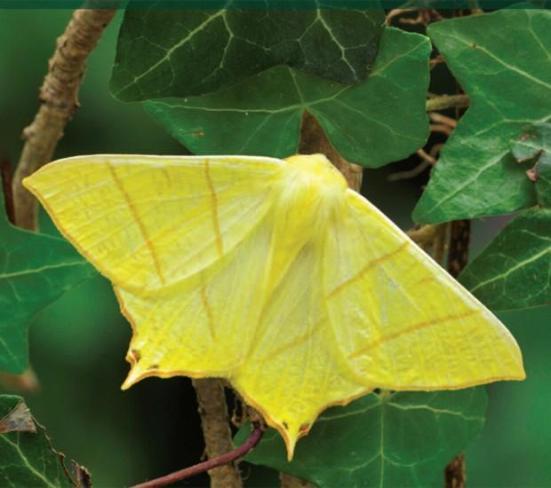 Mariposas como a 'Ourapteryx sambucaria', encontrada na Grã-Bretanha, tiveram redução de 60% no número de indivíduos nos últimos 40 anos, diz relatório (Foto; Divulgação,Butterfly Conservation)
