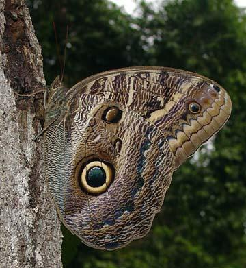 Por: neotropicalbutterflies