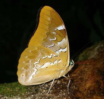 Por: neotropicalbutterflies.com