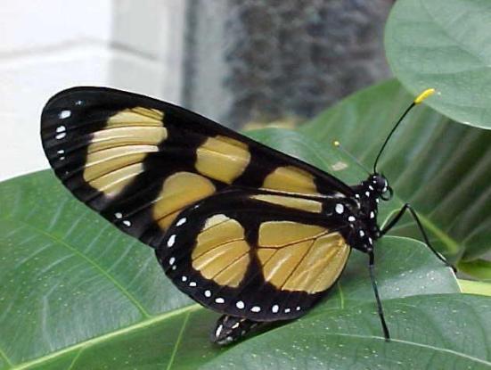 Por: borboletasbr.blogspot.com.br