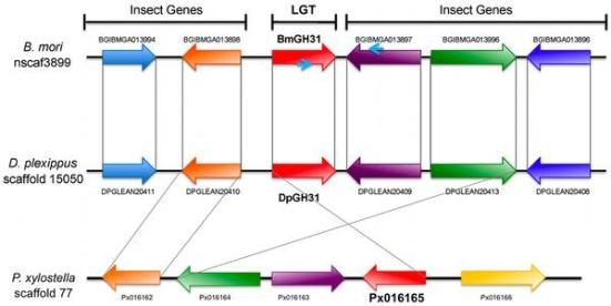 Figure 2. Microsynteny exists in the region surrounding DpGH31, BmGH31 and PxGH31. Microsynteny of genes surrounding the GH31 LGT regions in B. mori, D. plexippus and P. xylostella. The genes' direction of transcription is indicated by arrows with LGTs shown in red. Genes that are one to one blast orthologs between B. mori, D. plexippus, and P. xylostella are indicated by matching colors and connecting gray lines. The PCR primers used to amplify between BmGH31 and the neighboring gene (BGIBMGA013897) on scaffold 3099 are indicated by small blue arrows on BmGH31 and BGIBMGA013897. doi:10.1371/journal.pone.0059262.g002