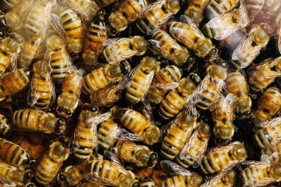 Um novo estudo conduzido pelo professor de entomologia Illinois May Berenbaum mostra que alguns componentes do néctar e pólen grãos abelhas coletam para a fabricação de aumento comida expressão de genes de desintoxicação que ajudam a manter as abelhas saudáveis. (Crédito: Foto por L. Brian Stauffer)