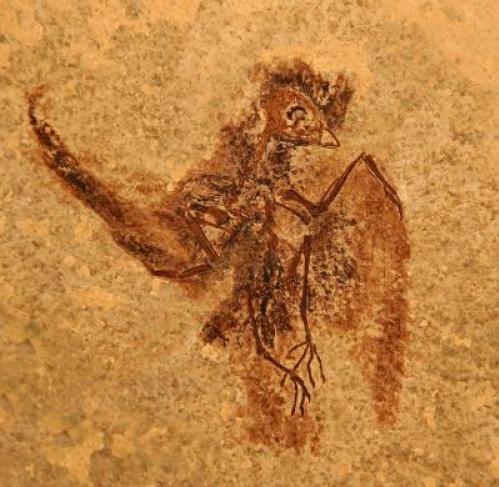 Doze centímetros da cabeça à cauda, E. rowei foi um precursor evolutivo para o grupo, que inclui andorinhões de hoje e beija-flores. (Crédito: Foto contribuído por Lance Grande do Museu Field de História Natural)
