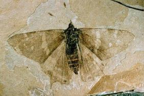Buttefly Fossil Nymphalidae