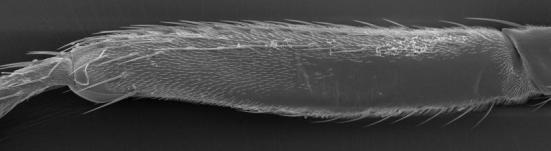 Micrografia eletrônica de uma perna Drosophila mostrando a careca chamado 'nu vale' à direita. (Crédito; Vetmeduni Vienna, McGregor)