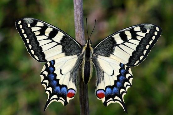 Papilio machaon (Por Hamon jp)