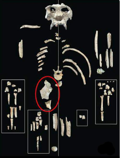 Após uma análise aprofundada de um antigo primata, da Universidade de Missouri especialista anatomia integrativa diz a forma de pélvis do espécime indica que ele morava perto do início da grande evolução do macaco, após os poucos macacos começaram a desenvolver separadamente, mas antes da grandes espécies de macacos começaram a diversificar. (Crédito: Imagem cedida da Universidade de Missouri-Columbia)