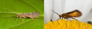 Trchoptera e Micropterigidae