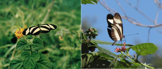 Heliconius nattereri (Nymphalidae - C. Felder & R. Felder,1865)