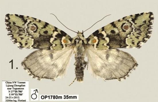 Exemplar macho da mariposa 'Stenoloba solaris' (Foto: Divulgação/'Zookeys')