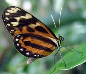Hypothyris ninonia