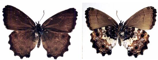 Moneuptychia umuarama