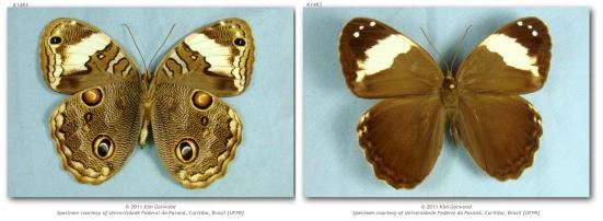 Opoptera fruhstorferi