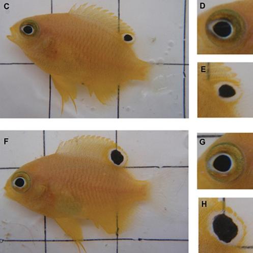 Peixes da espécie 'Pomacentrus amboinensis' foram expostos a predadores por 6 semanas. Na imagem F, é possível ver ocelos maiores e olhos menores em relação ao grupo de controle (C) (Foto; Scientific Reports)