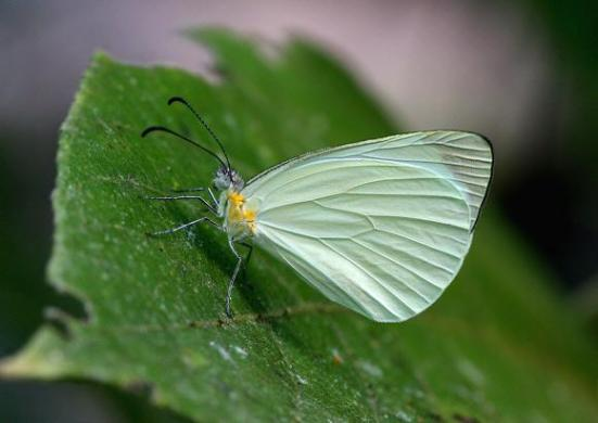 Pseudopieris nehemia Por; learn about butterflies
