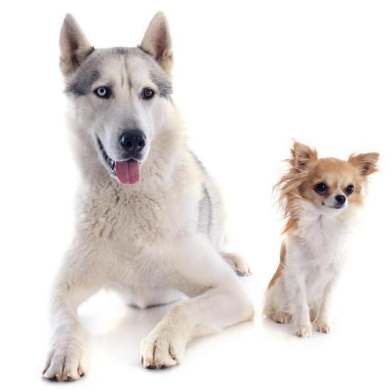 Siberian husky and Chihuahua. (Credit; © cynoclub , Fotolia)