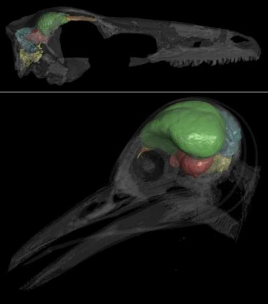 ACIMA: Este tomografia computadorizada mostra o crânio transparente e opaco de um Zanabazar júnior, um dinossauro troodontídeo. O endomolde craniano é dividido nas seguintes regiões seguintes neuroanatomicas: tronco cerebral (amarelo), cerebelo (azul), lóbulos ópticos (vermelho), encéfalo (verde), e bulbos olfatórios (laranja).  ABAIXO: Esta tomografia computadorizada mostra um pica-pau moderno (Melanerpes aurifrons) com seu cérebro opaco e o crânio transparente. O endomolde é dividido nas seguintes regiões seguintes neuroanatomical: tronco cerebral (amarelo), cerebelo (azul), lóbulos ópticos (vermelho), encéfalo (verde), e bulbos olfatórios (laranja). (Crédito: © AMNH / A. Balanoff)