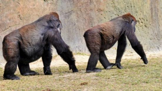 Primatas teriam passado a se dividir em pares para garantir segurança de filhotes contra infanticídios (Thinkstock)