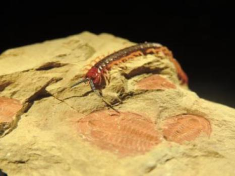 "A living arthropod (centipede Cormocephalus) crawls over its 515-million-year-old relative that lived during the Cambrian explosion (trilobite Estaingia). A study of arthropods reveals that morphology and genes evolved five times faster during evolution's ""big bang"" compared to all subsequent periods: Fast, but still compatible with Darwin's theory. Both the centipede and trilobite are found on what is now Kangaroo Island, Australia. (Credit: Michael Lee.)"