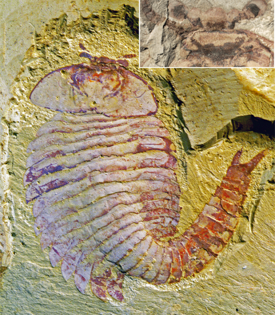 Fóssil de artrópode encontrado por cientistas; detalhe mostra estruturas do cérebro fossilizado (Foto; Divulgação,Xiaoya Ma,Nicholas Strausfeld)