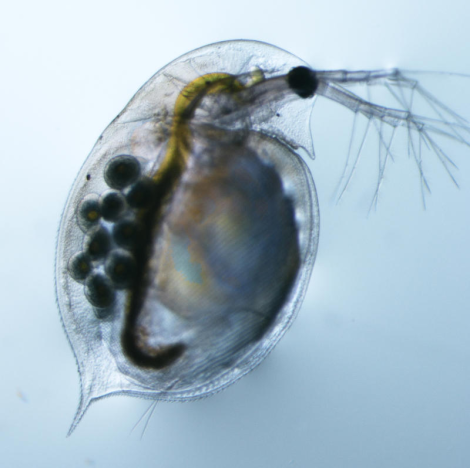 Female Daphnia pulex. (Credit; Indiana University)