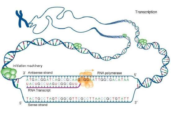 """A dupla de cientistas da Universidade de Penn State alcançou um marco importante para a compreensão do genoma """"matéria escura"""" - chamado de RNA não-codificante . Esta """"matéria escura"""" é difícil de detectar e ninguém sabe exatamente o que está fazendo ou por que ele está lá no nosso genoma, mas os cientistas suspeitam que pode ser a fonte de doenças hereditárias. Essa pesquisa pode ajudar a identificar exatamente onde traços complexos - doença reside no genoma humano. Esta ilustração mostra, no canto superior esquerdo, um cromossomo - um pacote densamente compactado que contém um longo, o filamento contínuo de DNA. O DNA é transcrito em RNA difusamente, mas apenas uma fração muito pequena do RNA tem as instruções (ou códigos) para a produção de proteínas. Os círculos verdes nesta ilustração representam lugares ao longo da fita de DNA onde a transcrição origina. Uma nova pesquisa liderada por B. Franklin Pugh da Penn State University mostra que praticamente todos RNAs, com ou sem que codificam proteínas origina-se nos locais ao longo da fita de DNA. Os resultados eventualmente, podem ajudar a identificar exatamente onde traços - doença complexa residem, uma vez que as origens genéticas de muitas doenças residir fora da região de codificação do genoma. (Crédito: National Institutes of Health e B. Franklin Pugh , Penn State University)"""