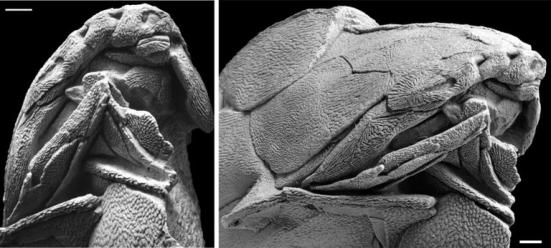 Com base na análise dos fósseis de 'Entelognathus primordialis', os pesquisadores concluíram que o ancestral dos gnatostomados, animais que possuem as arcadas superior e inferior bem individualizadas, não deveria ter um aspecto similar ao do tubarão. (foto: Zhu et al/ Nature)