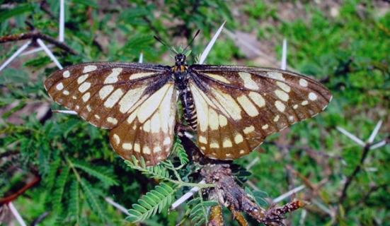 Foto mostra borboleta da espécie 'Baronia brevicornis', em risco de distinção. (Foto; AFP Photo)