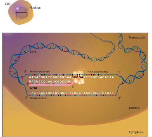 Ácido ribonucleico (ARN) é uma molécula semelhante ao ADN. Ao contrário do DNA, o RNA é de cadeia simples. Uma fita de RNA tem uma espinha dorsal feita de alternância de açúcar (ribose) e grupos fosfato. Junto de cada açúcar é uma de quatro bases - adenina (A), uracilo (U) e citosina (C) ou guanina (G). Diferentes tipos de RNA existe na célula: o RNA mensageiro (mRNA), RNA ribossómico (rRNA), e ARN de transferência (ARNt). Mais recentemente, alguns pequenos RNAs foram encontrados estar envolvido na regulação da expressão génica. (Crédito: Darryl Leja, NHGRI)