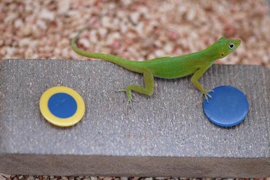 Em experimentos, lagartos precisavam mudar de estratégia para conseguir capturar larvas escondidas