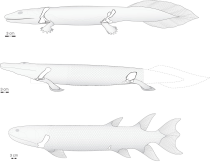 Updated reconstruction of the skeleton of Tiktaalik roseae based on the new material. Credit: John Westlund, University of Chicago. Read more at: http://phys.org/news/2014-01-discovery-tiktaalik-roseae-fossils-reveals.html#jCp