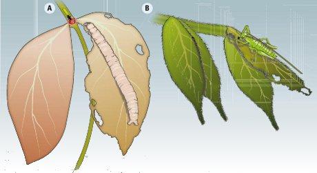 Clicca e scopri il significato del termine: Due specie strettamente imparentate che condividono lo stesso ambiente, Inga auristellae (A) e Inga cayennensis (B), hanno evoluto mezzi di difesa dai parassiti che si attivano in fasi differenti della crescita della pianta. (Cortesia P.D. Coley, Th.A. Kursa/Science/AAAS)Due specie strettamente imparentate che condividono lo stesso ambiente, Inga auristellae (A) e Inga cayennensis (B), hanno evoluto mezzi di difesa dai parassiti che si attivano in fasi differenti della crescita della pianta. (Cortesia P.D. Coley, Th.A. Kursa/Science/AAAS)