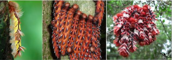 Esquerda) Morpho peleides; centro) M. hercules; direita) M. epistrophus