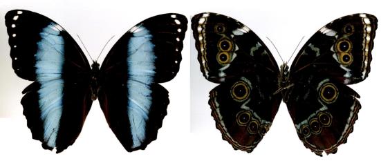 Morpho achilles (Linnaeus, 1758)