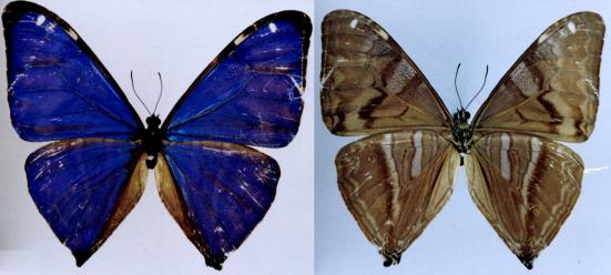 Morpho aega (Hubner ,1822)