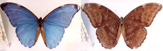 Morpho amathonte (Deyrolle, 1860)