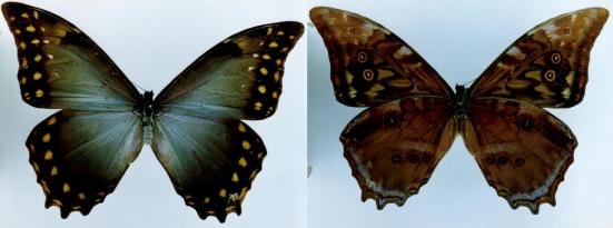 Morpho amphitryon (Staudinger, 1887 )