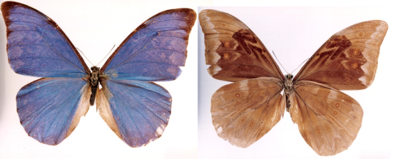 Morpho anaxibia (Esper, 1801)