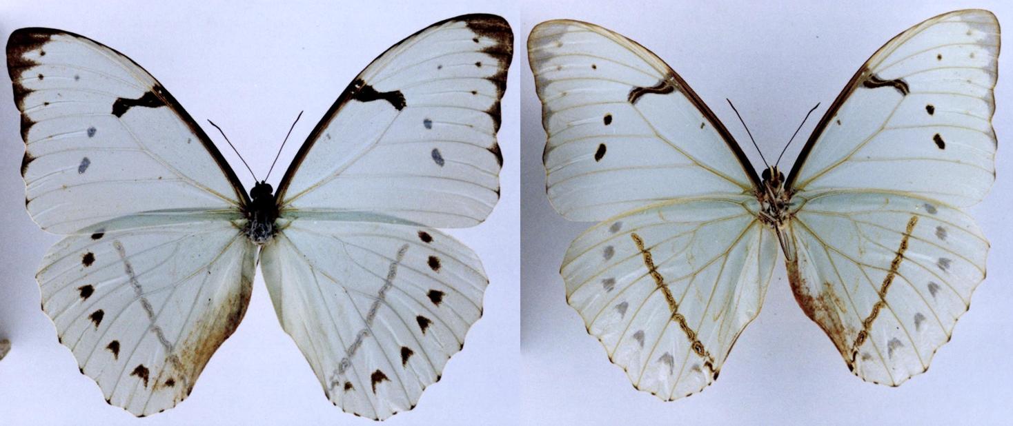 Morpho epistrophus - Wikipedia, la enciclopedia libre
