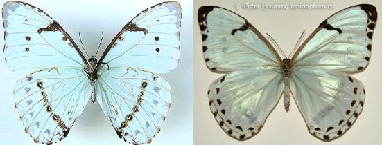 Morpho catenarius (Perry, 1811)