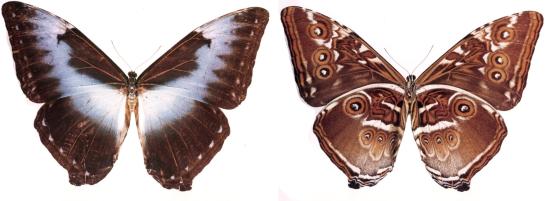 Morpho cisseis (C. and R. Felder, 1860)