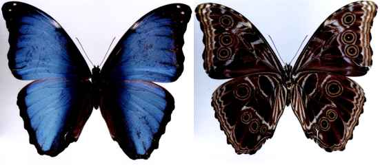 Morpho deidamia (Hübner, 1819)