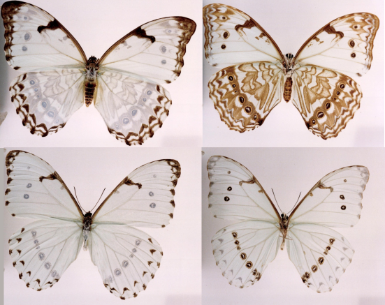 Morpho epistrophus (Fabricius, 1796)